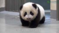 yuan-zai-panda-video