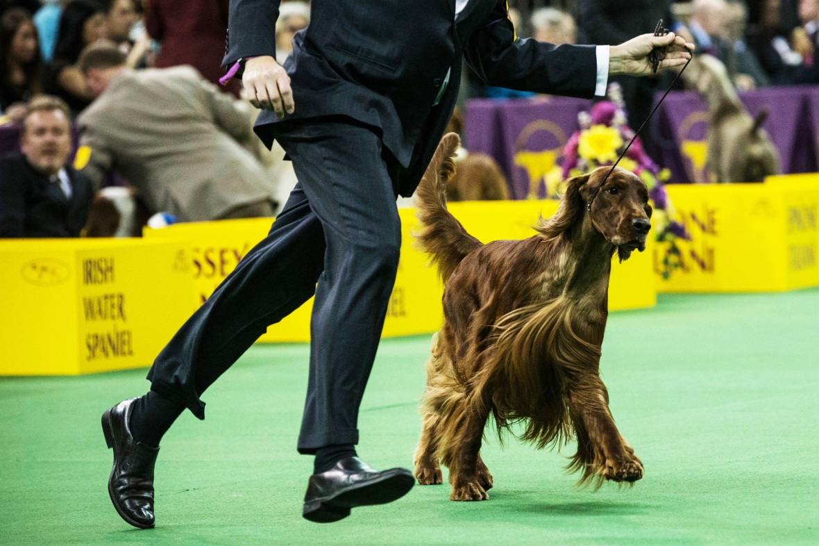 irish setter dog show