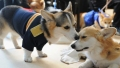 corgi-wedding
